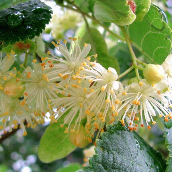 Acacia Concinna Fruit Extract