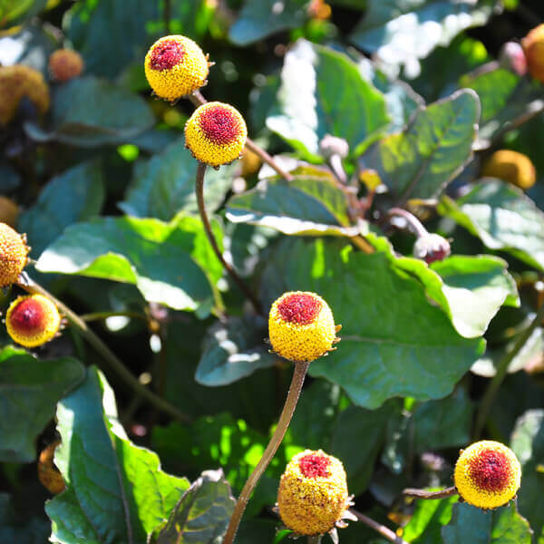 Spilanthes Acmella Flower Extract*