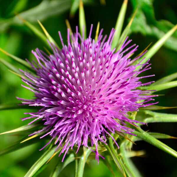 Silybum Marianum (Thistle) Seed Oil*