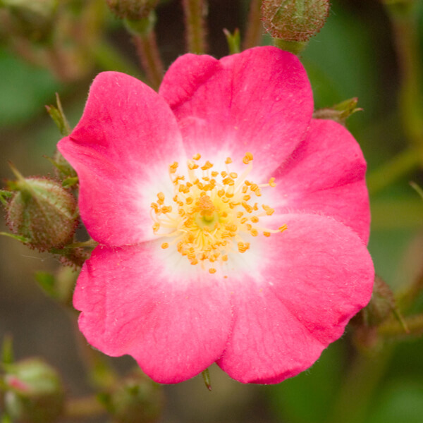 Rosa Moschata (Musk rose) Seed Oil*