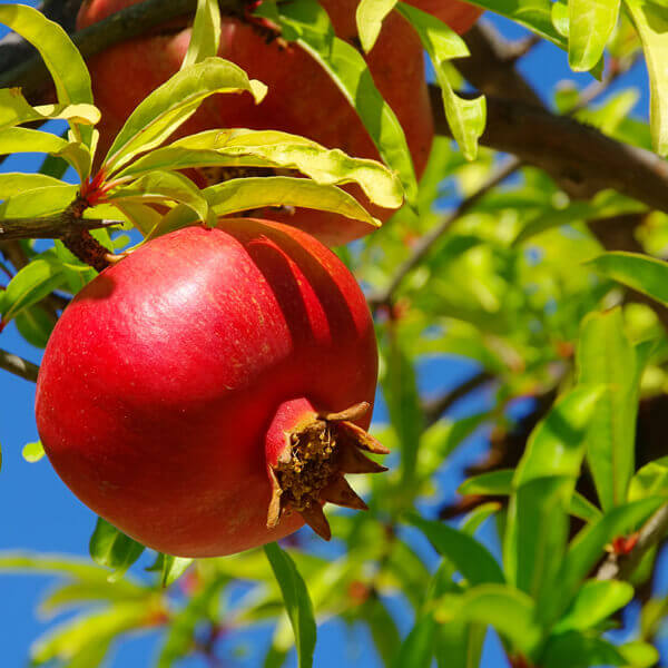 Punica Granatum (Pomegranate) Fruit Extract*