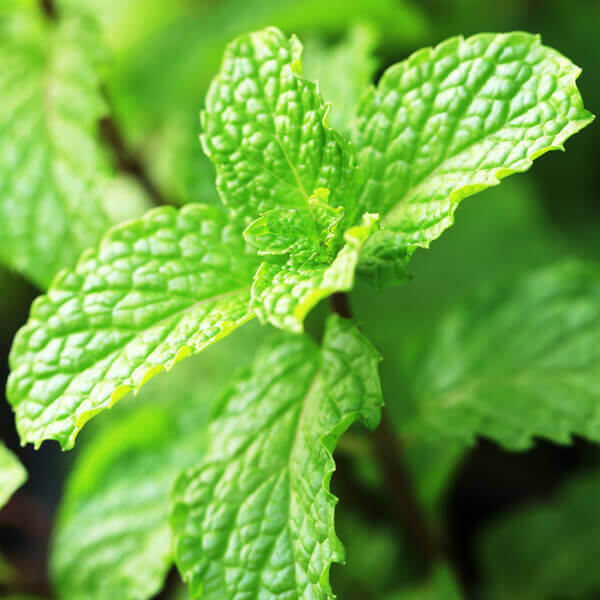 Mentha Piperita (Peppermint) Leaf Extract*