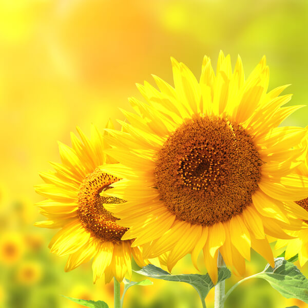 Helianthus Annuus (Sunflower) Seed Oil*