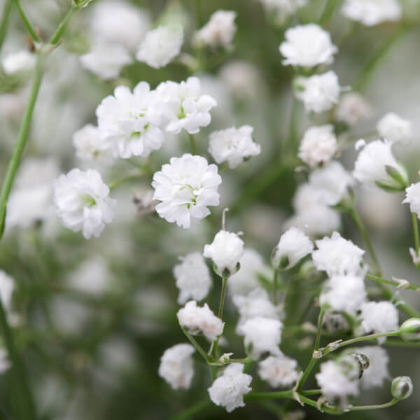 Gypsophila Paniculata (Baby's breath) Root Extract*